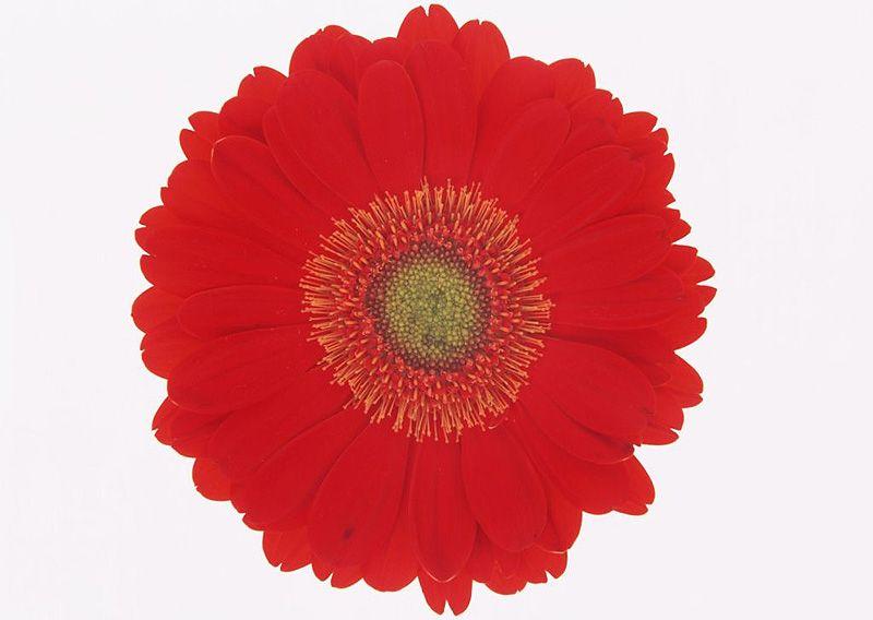крупные цветок картинка для детей раскраска